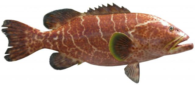 Asian Grouper 7