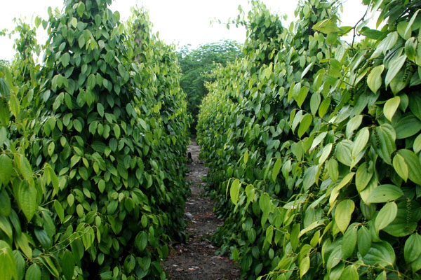 Indonesia Pepper Supplier Muntok White Pepper Bariball