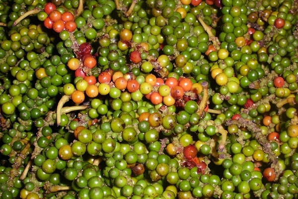 Indonesia Pepper Supplier Muntok White Pepper Bariball