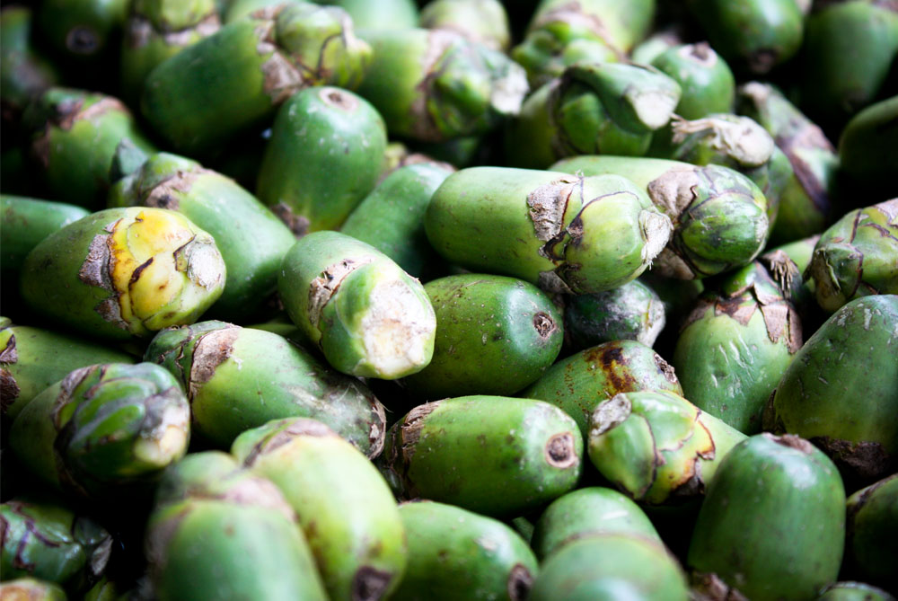 betel nut Betel nut palms originally grew wild in southeast asia, perhaps in the philippines or malaysia they were brought to the indian subcontinent by humans in prehistoric times.