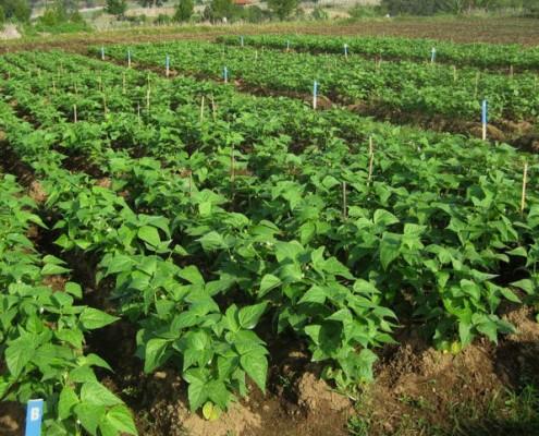 Baby Green Bean Farm